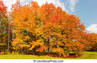 Group of red oaks with autumn leaves in park
