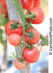 group of red tomato in garden