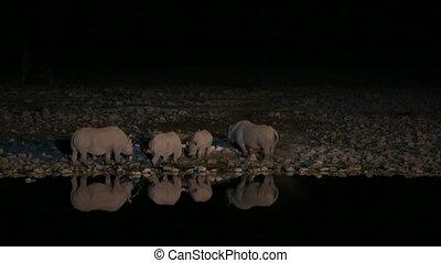 Group of Rhinos drinking water in waterhole - Side view of...