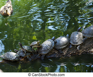 Group of river turtles