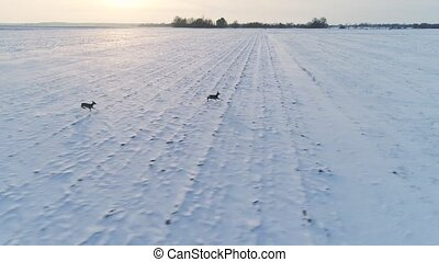 group of roe deer in winter fields - group of roe deer...