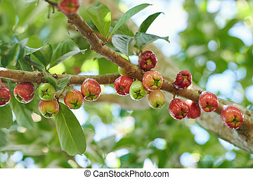 Group of rose apple