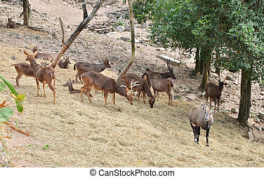 Group of Sambar deer in forest