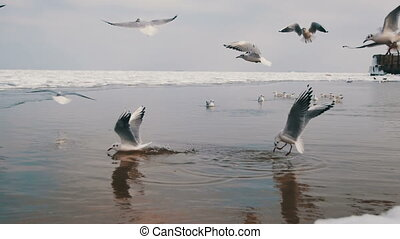 Group of Seagulls Diving and Fighting for Food in Winter Ice-Covered Sea.