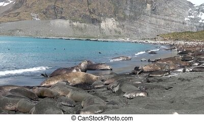 Group of seals on beach of the Falkland Islands in...