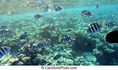School of fish, sergeant major damselfish (Abudefduf vaigiensis, Pomacentridae) in red sea, Marsa Alam, Egypt