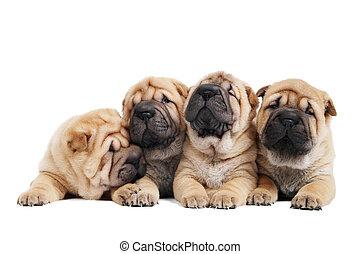 group of sharpei dog - group of purebred beige sharpei puppy...