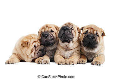 group of sharpei dog - group of purebred beige sharpei puppy...