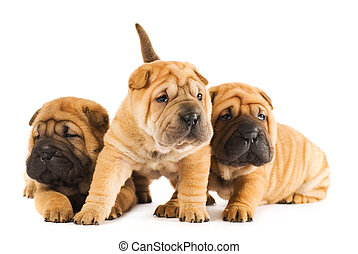 Group of sharpei puppies isolated on white background (studio shot)