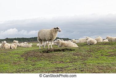 group of Sheep animals