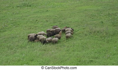 Group of sheep gazing, walking and resting on a green...