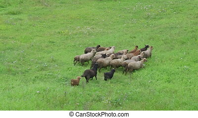 Group of sheep gazing, walking and resting on a green ...