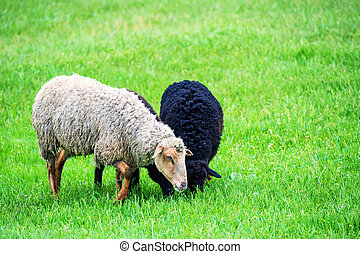 Group of sheep grazes on a pasture