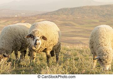 Group of sheep grazing grass on a beautiful field