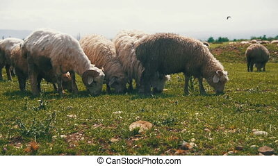 Group of Sheep Grazing in the Field. Slow Motion - Group of...