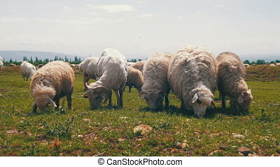 Group of Sheep Grazing in the Field