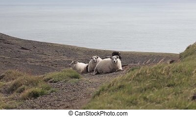 Group of sheep in field in Iceland - Group of sheep in a...