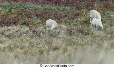 Group of Sheep in mountains - Scotland, UK, telephoto shot