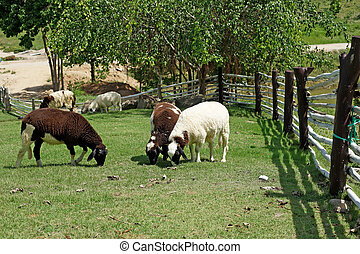 group of sheep in the farm