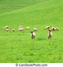 Group of sheep on a green pasture