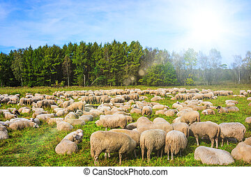 group of sheep on a pasture. Grazing lamb