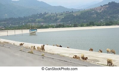 Group of sheeps eating grass with the mountain and water...