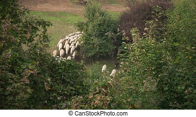 Group of sheeps running on the pasture in forest