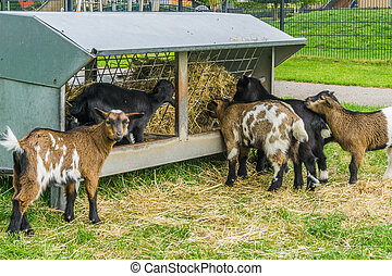 group of small baby goats eating hay from the stack together