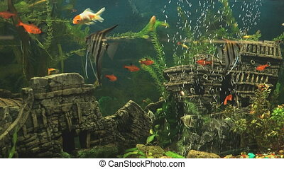 Group of small red fish into aquarium. Close-up