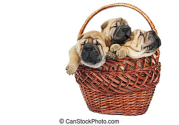 group of small sharpei dog in basket