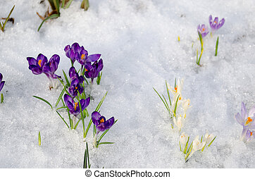 small violet crocuses on frozen snow in garden