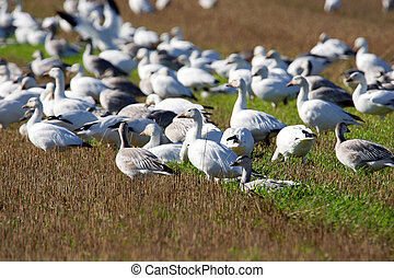 Group of Snow geese in field