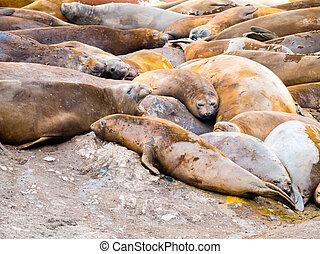 Colony of southern elephant seals, Mirounga leonina, at Hannah Point, Livingston Island, South Shetland Islands, Antarctica