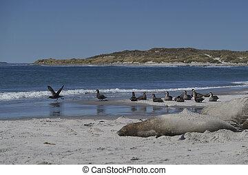 Southern Giant Petrel (Macronectes giganteus) - Group of ...