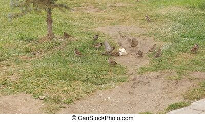 Group of sparrows eat bread on the ground.
