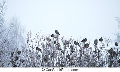 Group of sparrows perched on the branches. - Group of...