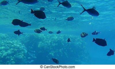 Group of striped spherical fishes searching reefs in Egypt...