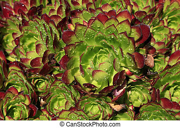 Group of succulent plants of the genus green and red Echeveria with drop