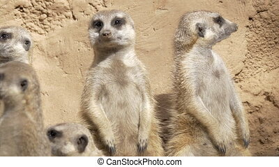 Group of several meerkats being on their guard to warn the mob if danger is coming