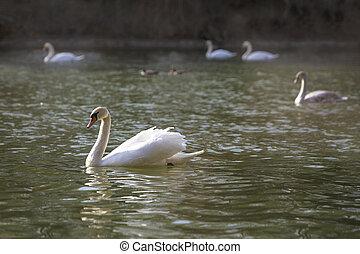 Group of swans at the lake