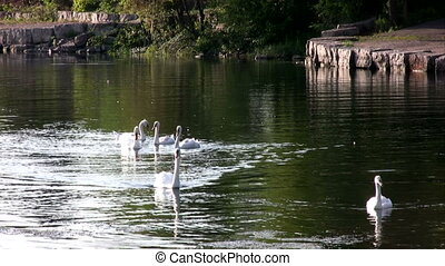 Group of swans in the lake.