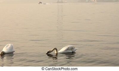 Group of swans swimming in the sea