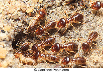 termite soil - group of termite soil soldier