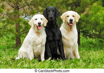 group of three dogs - flat-coated Retriever and two Golden Retriever sitting
