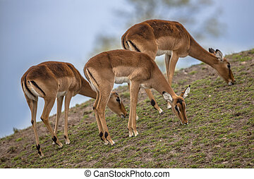 Group of three impala