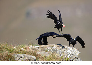 Group of three White-necked Ravens (Corvus albicollis) in flight in South Africa