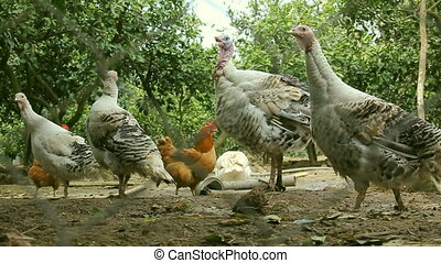 Group of turkey hen eating food in a garden. Village life