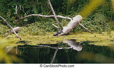 Group of Turtles Sitting on a Log in the River with Green Algae. Lot of Turtles relaxing on an old wooden log. Summer, Sunny day. European pond turtle Emys orbicularis.