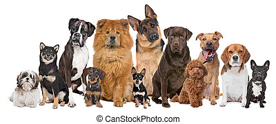 Group of twelve dogs sitting in front of a white background