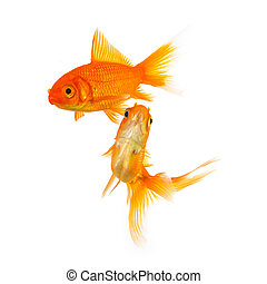group of two goldfishes